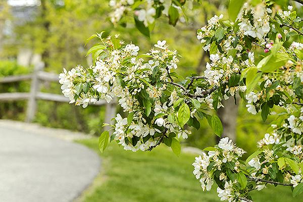 Flowering tree on OceanView campus.